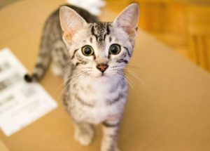 котенок египетской мау - фото