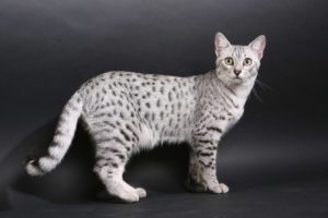 кошка египетская мау - фото
