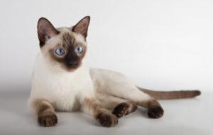 Котенок тайской породы - фото
