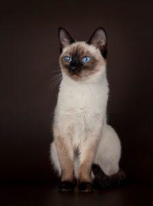 тайская кошка - фото