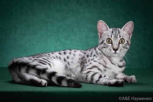 Котята Египетской Мау